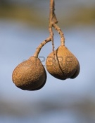 2729669-brown-nuts-hanging-on-tree